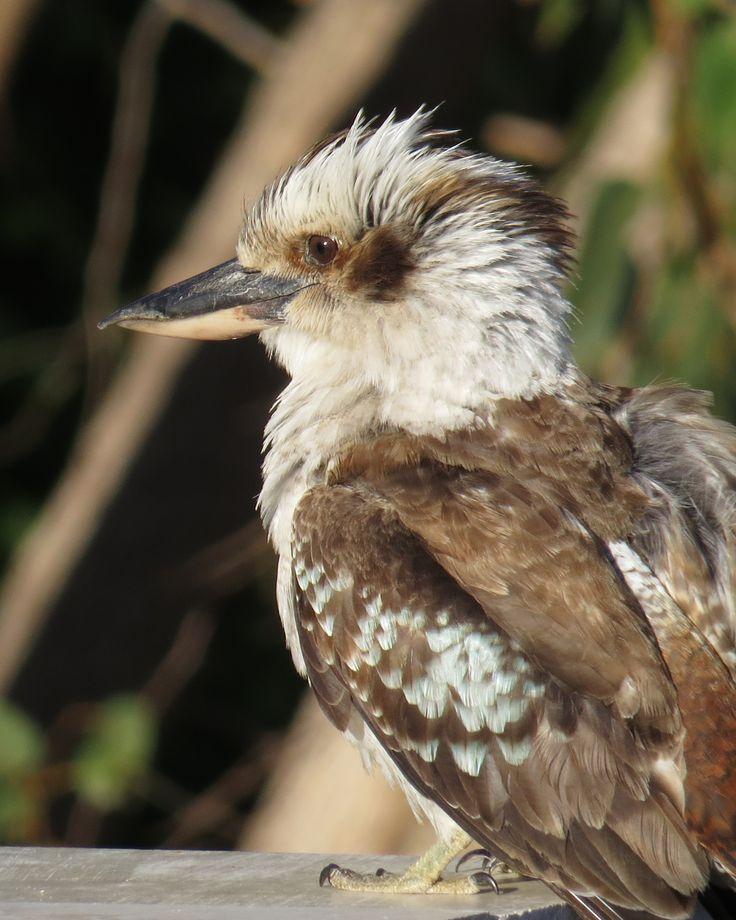 Australian Laughing Kookaburra- Taken in Perth, Western Australia