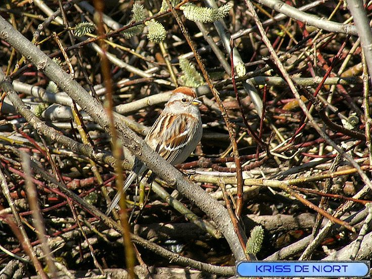 http://faaxaal.forumgratuit.ca/t380-photo-d-oiseau-bruant-familier-spizella-passerina-chipping-sparrow#5242
