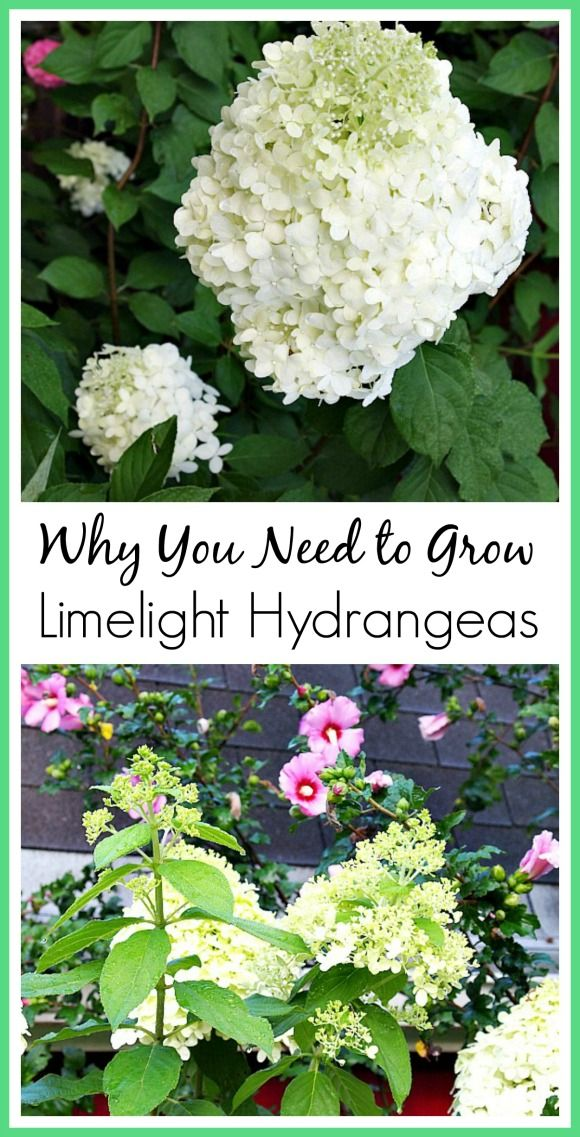Why you should grow Limelight Hydrangeas. They're really the perfect flowering shrub!