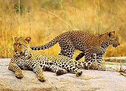 The Pride of South Africa, Namibia, Botswana, and Zimbabwe