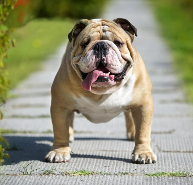 English Bulldog 36 Pictures Buldog Buldog Dogs Kids