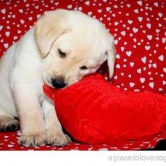 1000 images about valentine 39 s pets on pinterest - Valentines day pictures with puppies ...