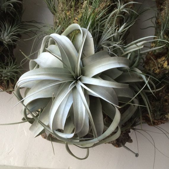 Huge tillandsia xerographica Air Plants by utilitarianfranchise