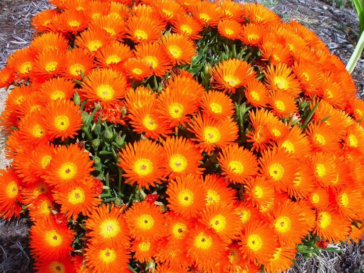 Bright Orange Ice Plant Mesembryanthemum Sp Succulent