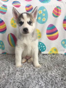 Siberian Husky puppy for sale in BELVIDERE, IL. ADN-27250 on PuppyFinder.com Gender: Male. Age: 7 Weeks Old