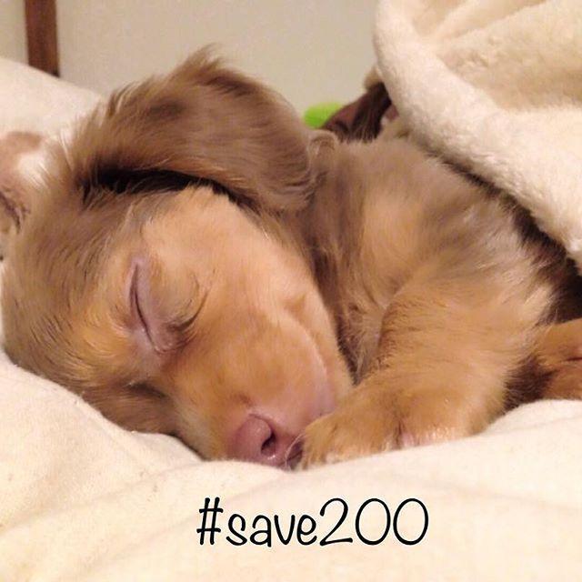 #save200 私も賛同しました @mamahama さんの投稿で知りました ※山口県周南市での『野犬狩り』と称した『大量虐殺行為』の反対運動です 日本で🇯🇵でこんな事が起きていたなんて 😱😱 picはあぐちのパピーちゃんの頃の物です 悪い子なんて1人もいません❗️ 命 守りたいですね♡ #殺処分反対 #守ろう #チワックス #チワワ #ダックス #mix犬 #犬 #溺愛 #癒し #感謝 #ペット #可愛い #大好き #愛犬 #親バカ部 #ilovemydog #dog #pet #love #cute