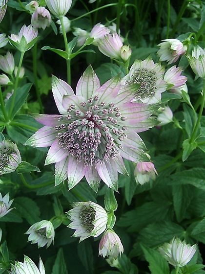 Astrantia_major.jpg (420×560)