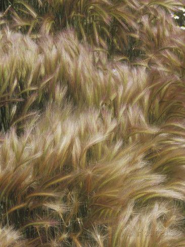 hordeum jubatum   Foxtail Grass Flowers, Hordeum Jubatum, Northern North America Lámina ...