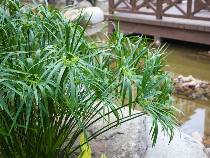piante rare da appartamento - papiro Cerca con Google