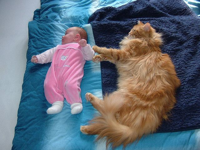 Maine Coon vs Baby by Maine Coons, via Flickr