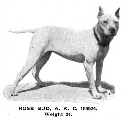 ROSE BUD (BULL TERRIER)~1907