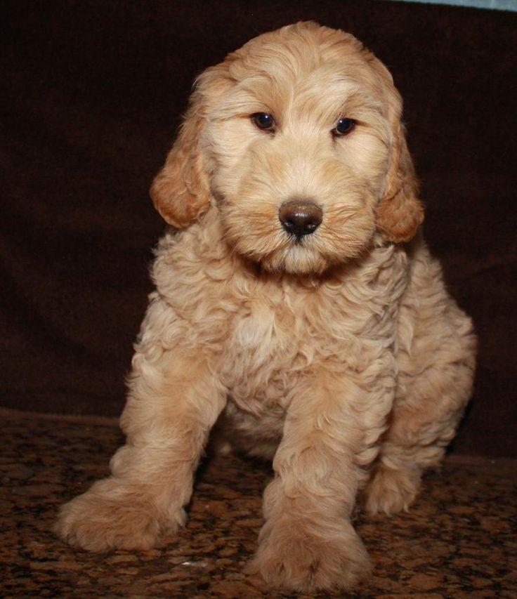Labradoodle Puppies for sale Australian Labradoodles