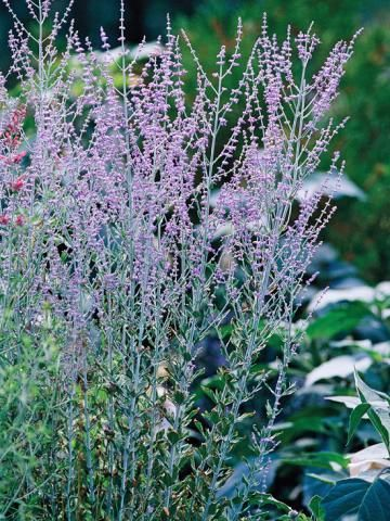 Russian Sage  This super-tough plant can grow to 6 feet tall, and is great for the back row of garden borders or along fences. It is heat and drought resistant, and most pests like deer and rabbits will stay away from it. The fragrant silver foliage is just as pretty as the purple blooms.