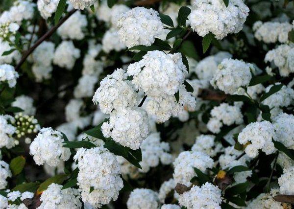La Corona de novia o Espirea del Japón,Spiraea cantoniensis,es un arbusto caducifolio perteneciente a la familia de las rosáceas. Su origen se encuentra en Asia, concretamente en China y Japón. A…