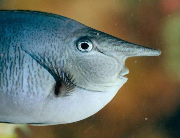 Es conocido como pez unicornio y puede alcanzar hasta sesenta centímetros de longitud. Normalmente presenta una tonalidad grisacea. Medioambiente.org