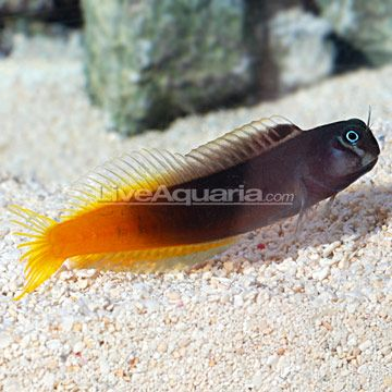 Bicolor Blenny blennies have such great personalities