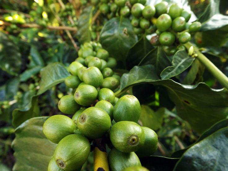 Granos de café verde. Reservas de alojamiento 3214129517 o email angomera@gmail.com ¿Necesitas fotos como esta para el contenido de tu web? Visita: www.laweb.com.co/contenido-web/