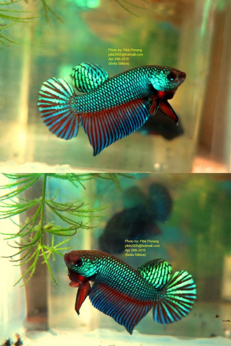 Fwbettas1430473475 rare species betta stiktos pair for Betta fish sale