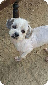 Fairfax, VA - Shih Tzu/Maltese Mix. Meet Rex, a dog for adoption. http://www.adoptapet.com/pet/18069762-fairfax-virginia-shih-tzu-mix