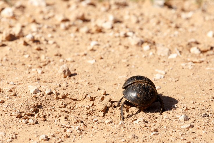 Dung beetle Addo Elephant National Park is a diverse wildlife conservation park situated close to Port Elizabeth in South Africa and is one of the country's 19 national parks.