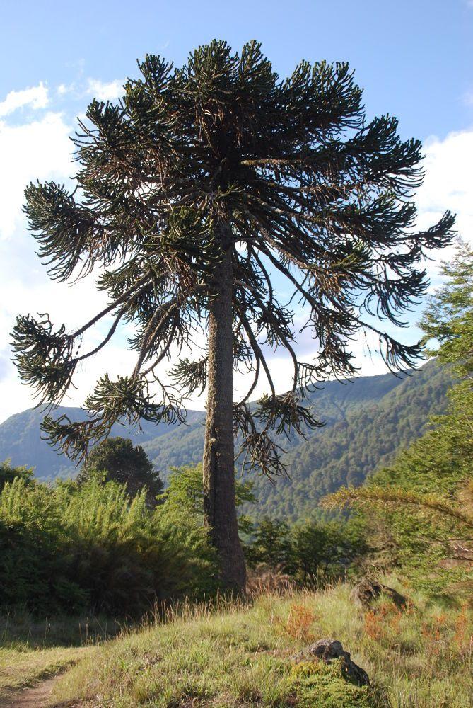 Chile 2014 © Gary Whaley Villarrica National Park.