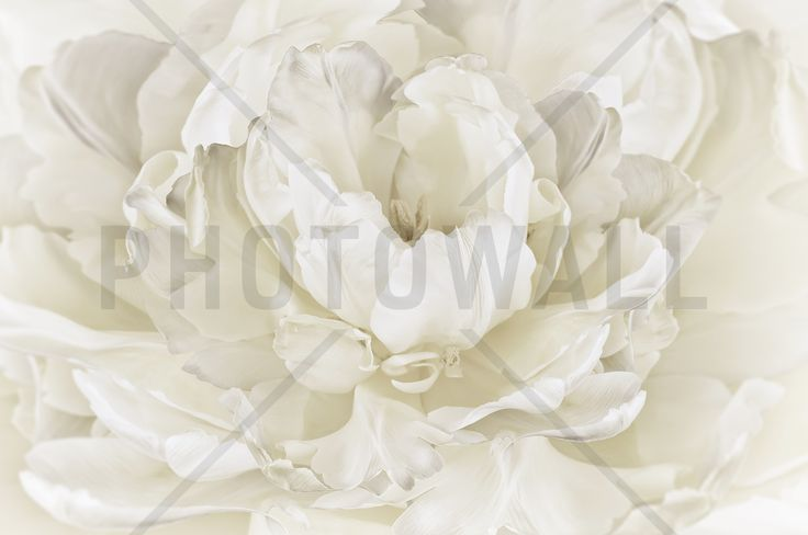 Ivory White Double Tulip - Wall Mural & Photo Wallpaper - Photowall