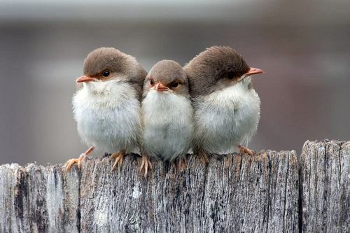 birds: Fence, Triplets, Country Roads, Sweet, Friends, Three Amigos, Three Little Birds, Feathers, Animal