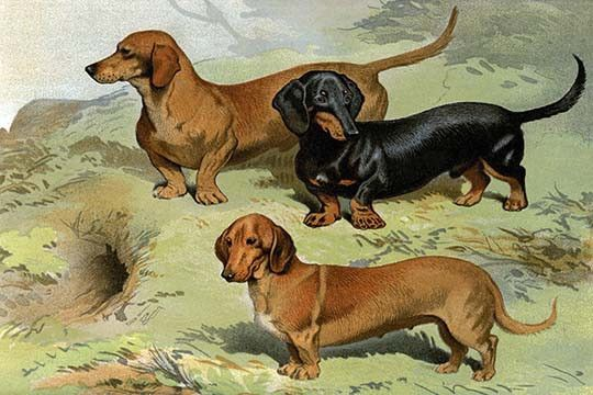 Dachshunds. High quality vintage art reproduction by Buyenlarge. One of many rare and wonderful images brought forward in time. I hope they bring you pleasure e