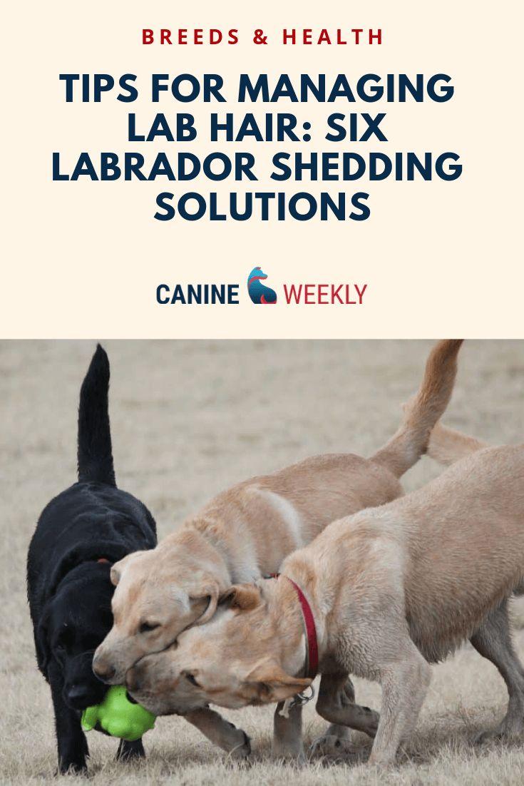 Do labs shed a lot labrador retriever shedding guide