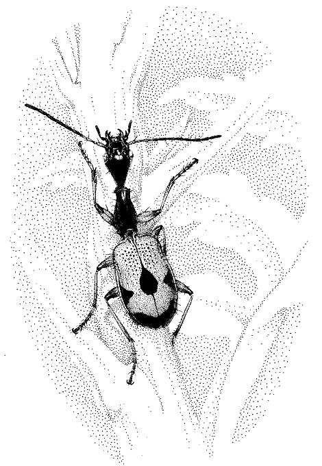 Colliuris pensylvanica (Carabidae)