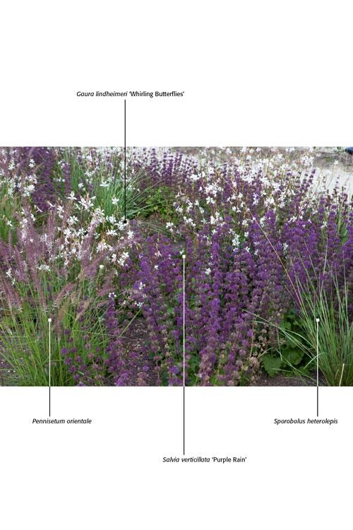 "Salvia verticillata 'Purple Rain,' Pennisetum orientale, Sporobolus heterolepis, Gaura lindheimeri ""Whirling Butterflies."" lies.'"