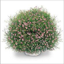 Geïmporteerd 30 stks Japanse SAKATA Gypsophila Zaden, Baby Ademen Bloemzaden, Bonsai Bloemzaden Tuin Pot Plant Gratis Verzending(China (Mainland))