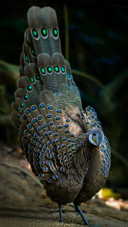 The grey peacock - pheasant