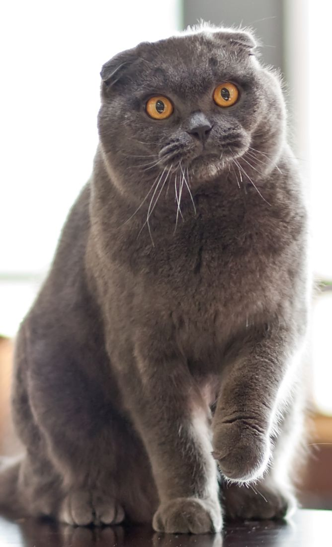 Cat 101 scottish fold : Miniapps ico zip app
