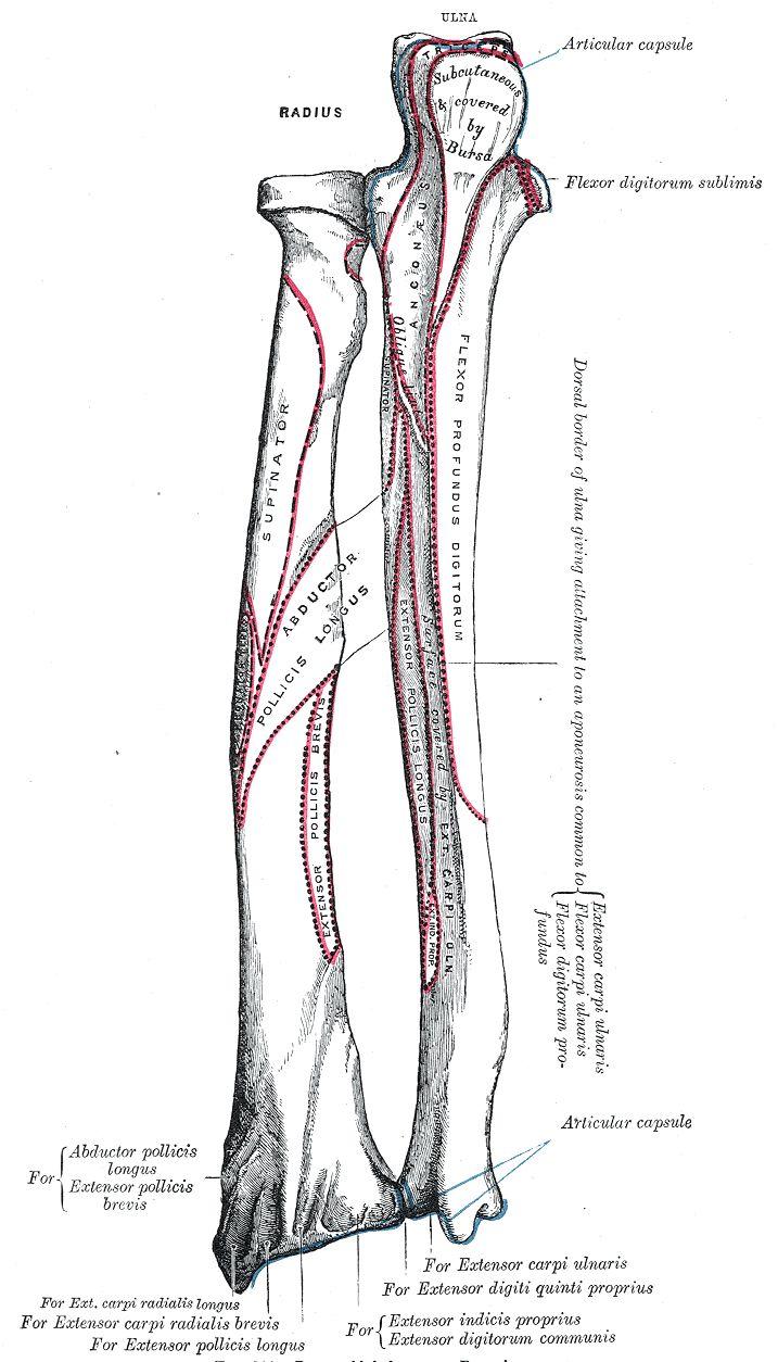 Best 13 Arm Bones images on Pinterest | Arm bones, Human anatomy and ...