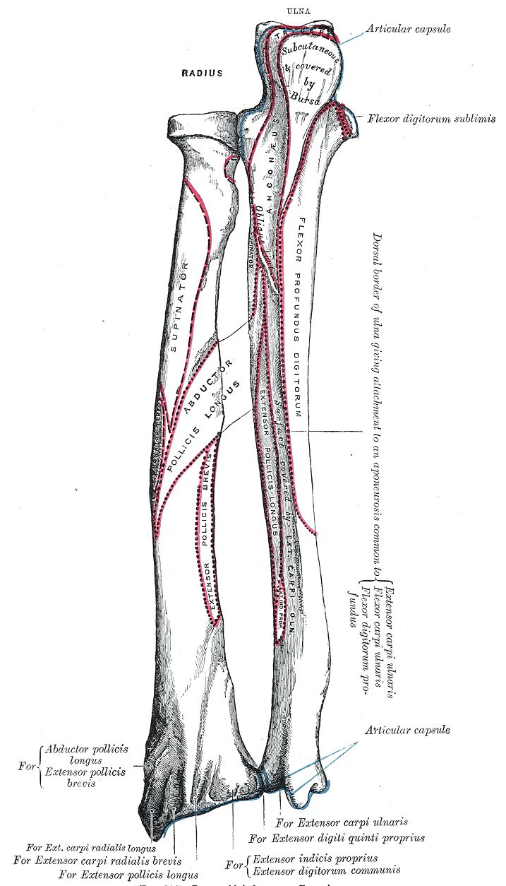 The radius is the bone of the forearm or lower arm, extending from the elbow to the wrist. This bone is relatively long and curved, extending parallel to the ulna. http://www.learnbones.com/arm-bones-anatomy/