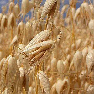 La avena es un cereal de altas propiedades nutricionales, rica en carbohidratos complejos, proteínas, betaglucanos, grasas saludables y fibra, que contiene hierro, magnesio, zinc, fósforo y potasio, además de aportar folatos y vitaminas B1, B6 y E. Además, es saludable para el corazón y las arterias.