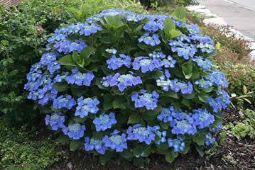 """Hydrangea """" Blaumeise"""": Blue Hydrangea, Flora, Front Yard, Beautiful Flowers, Blue Plants"""