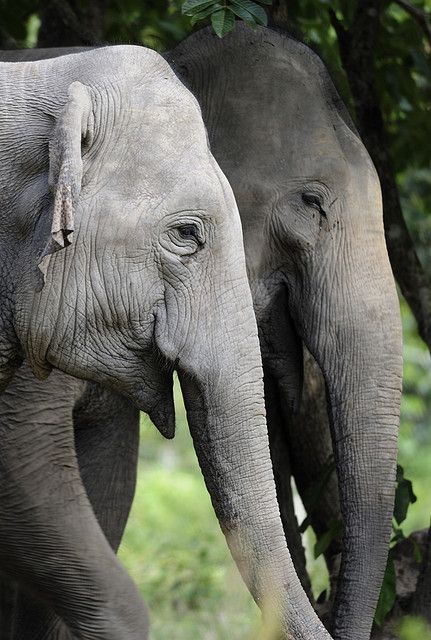 """Asian elephant: """"Estimates vary, but there are probably fewer than 30,000 Asian elephants left, mostly in India and Nepal."""