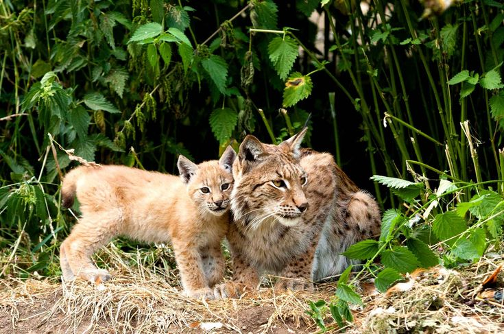 Mandatory Credit: Photo by Dave Stevenson / Rex Features (2786237d) Female adult lynx with kitten Female Adult Lynx with Kitten, ZSL Whipsnade Zoo, Bedfordshire, Britain - 17 Jul 2013 A pair of new-born Lynx kittens make a rare appearance at Whipsnade Zoo during a photography workshop run by Dave Stevenson. /Rex_LYNX_2786237D//1308091719