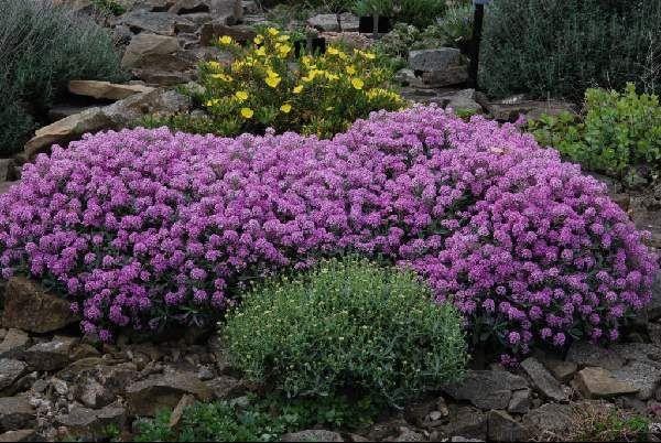 Алиссум - украшение для сада! Каждый год высеваю... Фото. Обсуждение на LiveInternet - Российский Сервис Онлайн-Дневников