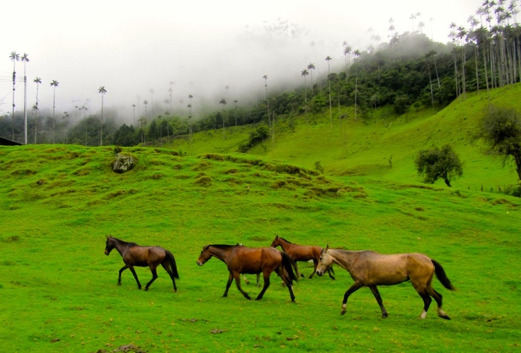 Colombian Fotos: Horses in Cocora Valley. One of our recent clients, Scott from NYC, took this photo while we were hiking in the Cocora Valley of Salento.