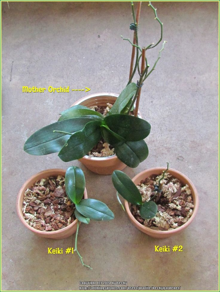 How to propagate orchids