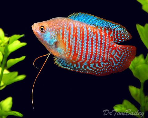 Dwarf gourami cpt nemo 39 s tank pinterest dr who for Pink kissing fish