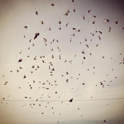 pigeon onslaught