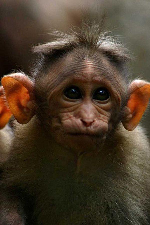 Картинки смешные обезьян, день рожденья