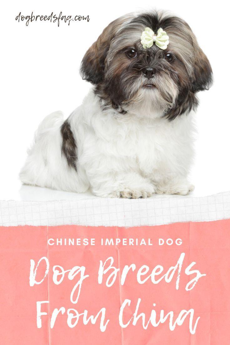 17 Popular Chinese Dog Breeds List Alphabetical Chinese Dog