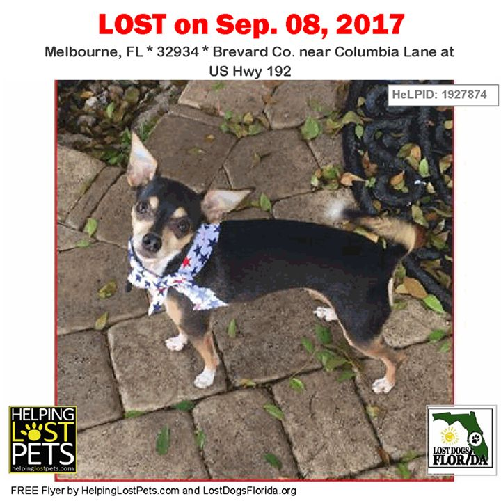 #LOSTDOG #Martini #Melbourne (Columbia Lane at US Hwy 192)  #FL 32934 #Brevard Co.  #Dog 09-08-2017! Female #Chihuahua Short Haired / Pinscher-Miniature  Mix Black / Tan/Martini went missing September 8th in Melbourne FL at the Racetrack Gas station off 192 & Coastal Lane in the Meldridge Manor neighborhood. Martini is a 6 -year-old shy female black & tan Chihuahua/Min Pin mix weighing about 6 lbs. She was wearing a black leather with chrome spike collar. Martini jumped out of the car at the…
