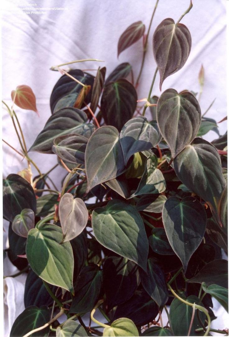 Philodendron scandens micans (Purchased from Wal-mart)