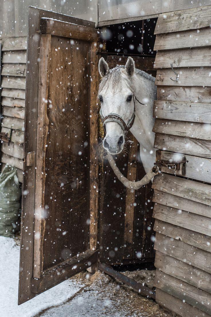 white horse in the snow by oleg filippov